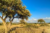 stock photo of drought  - Rural landscape with olive tree on drought meadow - JPG