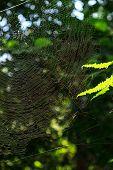foto of creepy crawlies  - Nephila clavata spider on his web - JPG