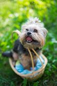 Yorkshire Terrier Sitting In Basket