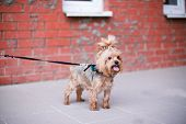Yorkshire Terrier Standing Near Brick Wall