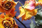 Faded Orange Rose Flower