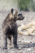 stock photo of hyenas  - Spotted hyena  - JPG