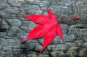 Red maple leaf on black burnt wood