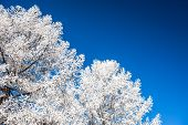 Snow-covered Trees And Dark Blue Sky