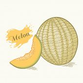 Hand Drawn Melon Vector Illustration