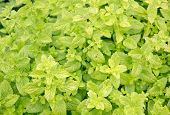 Mentha herbs