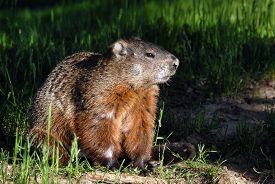 stock photo of groundhog  - A groundhog Toronto Ontario  - JPG