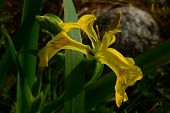 picture of marshes  - Fly on a flower iris marsh drink the morning dew on a summer morning - JPG