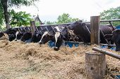 stock photo of dairy barn  - cows in a farm Dairy cows eating in a farm location Thailand - JPG