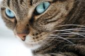 stock photo of tabby-cat  - A portrait of a beautiful blue eyed tabby cat - JPG