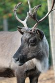 pic of caribou  - Reindeer male with antler velvet peeling straw on ground