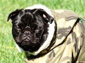 black pug in military outfit