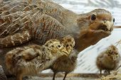 pic of taxidermy  - Partridge taxidermy exhibit objects  animals birds theme - JPG