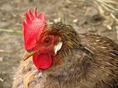pic of roosters  - close photo of a brown rooster with big lobes and comb