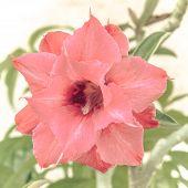 stock photo of desert-rose  - Close up pink desert rose impala lily adenium obesum or azalea flower - JPG