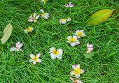 image of plumeria flower  - Leelavadee Plumeria flower dropped on green grass field - JPG