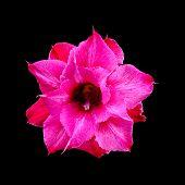 picture of desert-rose  - Close up pink desert rose impala lily adenium obesum or azalea flower isolated on black background - JPG