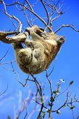 picture of koala  - Koala in Great Ocean Road - JPG