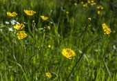image of buttercup  - Buttercups Close Up in with grass in the background - JPG