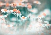picture of chamomile  - Daisy flower  - JPG