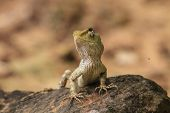 foto of lizards  - Green crested lizard - JPG