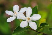 stock photo of gardenia  - close up white gardenia flower in garden - JPG