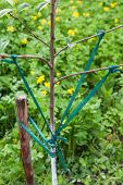 picture of garter-belt  - Correction angle divergence of the branches of young fruit tree - JPG