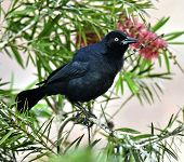 picture of greater antilles  - The Greater Antillean grackle  - JPG