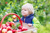 picture of trolley  - Cute funny toddler boy pushing wooden trolley with red apples and eating fruits - JPG