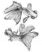 image of goldfish  - Goldfish vector watercolor illustration - JPG