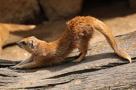 stock photo of meerkats  - Yellow mongoose  - JPG