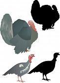 stock photo of turkey-cock  - illustration with turkey cocks isolated on white background - JPG