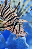 A close-up of a Lionfish. native to the Pacific ocean, narrow focus.