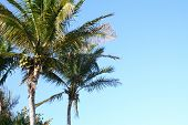 Coconut Palms And Coconuts