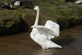 A trumpeter swan