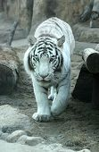 stock photo of white-tiger  - A white tiger at Moscow zoo in Russia - JPG