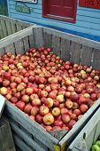 stock photo of apple orchard  - Apples in a Bin at a farmer - JPG