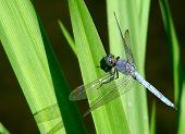 Libellula fulva or Scarce Chaser - azure dragonfly