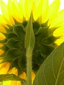 The Backside Of A Yellow Sunflower Facing The Sun