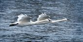 Pair Of Trumpeter Swans (Cygnus buccinator) Fly Over River