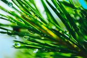 A Bright Evergreen Pine Tree Green Needles Branches With Rain Drops. Fir-tree With Dew, Conifer, Spr poster