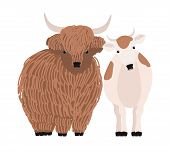 Pair Of Yak And Cow Isolated On White Background. Portrait Of Pair Of Cute Cartoon Domestic Cattle A poster