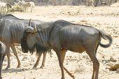 Wildebeest Namibio