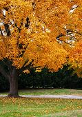 stock photo of fall trees  - Fall tree with golden leaves just beginning to fall in late autumn.