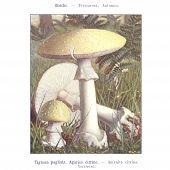Atlas de cogumelo
