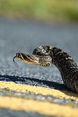 Eastern Diamondback Rattlesnake Cruising