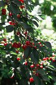 Cherry Cherry Tree In The Sunny Garden. Red And Sweet Cherries On A Branch Just Before Harvest In Ea poster