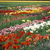 tulip field, Netherlands