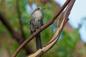 Grey Shrike-thrush  - Colluricincla Harmonica. The Grey Shrikethrush Or Grey Shrike-thrush (colluric poster