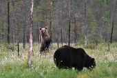 Two Bears in a bog